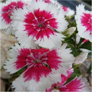 Амико Crimson Picotee семена гвоздики дражированные (Kitano Seeds) НЕТ ТОВАРА