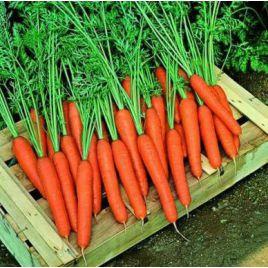 Темпо F1 семена моркови Нантес ранней 95-100 дн. (Vilmorin)