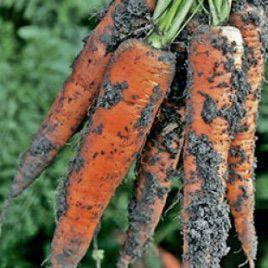 Трафорд F1 семена моркови Флакке (калибр больше 1,6) (Rijk Zwaan)