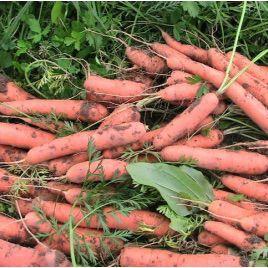 Тушон семена моркови Нантес (Euroseed)