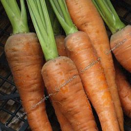 Флаккенария семена моркови Флакке поздней 110-130 дн. (Свитязь) НЕТ ТОВАРА