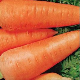 Шантане Ред Коре семена моркови среднеранней 100-110 дн. (Servise plus (GSN)