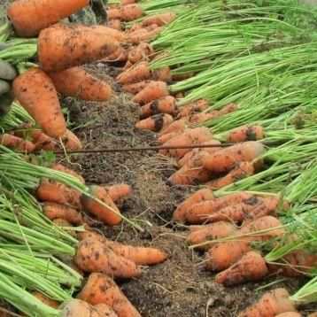 Шантане Роял семена моркови Шантане (Griffaton)