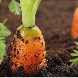 Шантане семена моркови среднепоздней 130 дн. (Rem seeds) НЕТ ТОВАРА