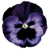 Дельта F1 неон-фиолетовая семена виолы (Syngenta)