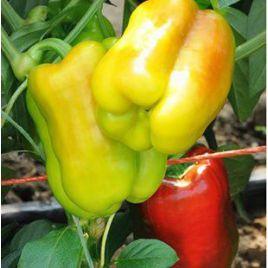 Дениз F1 семена перца сладкого тип Блочный раннего 68-72 дн корот.куб. 3-4 камер. св.желт./красн. (Yuksel)