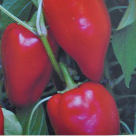 Кирилл семена перца сладкого тип Венгерский среднего 115 дн. конич. 160 г. крем./красн. конич. (Элитный ряд)