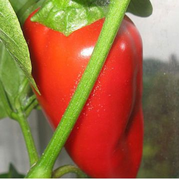 Мерцедес семена перца сладкого раннего 105-110 дн. зел./красн. цилиндр. (Элитсорт семена) НЕТ ТОВАРА