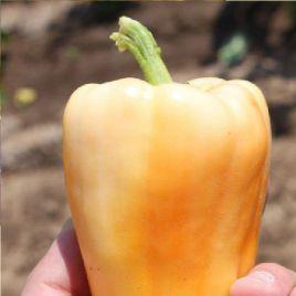 Соломия F1 семена перца сладкого среднераннего 105-110 дн. св. зел./оранж. кубов. до 180г (Элитный ряд)