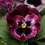 Фризли Сизли F1 ягода семена виолы (Pan American)