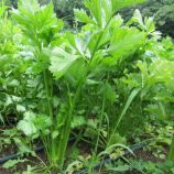 Сиенна F1 семена сельдерея черешкового(Enza Zaden)