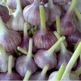 Любаша семена чеснока (GL Seeds)