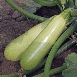 Адриелле F1 семена кабачка раннего светло-зеленого (Гавриш) НЕТ ТОВАРА