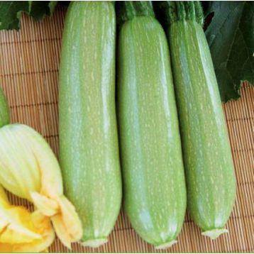 INX 1405 F1 (Билли F1) семена кабачка (Innova Seeds)