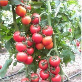 Меркур F1 семена томата индет. (Yuksel)