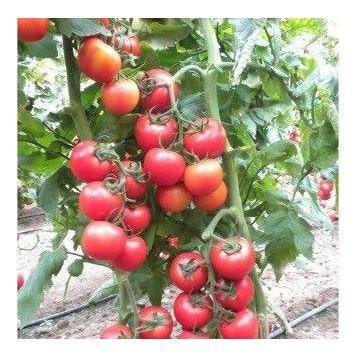 Меркур F1 насіння томата індет. (Yuksel)