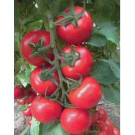 Меркур F1 семена томата индет. раннего окр.-прир. 130-140г (Yuksel) СНЯТО С ПРОИЗВОДСТВА
