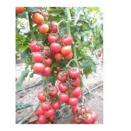 Эзги F1 семена томата индет. раннего окр. 130-150г. (Yuksel)