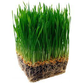 Экстра Спорт семена газонной травы (Свитязь)