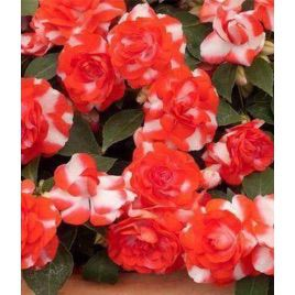 Султан Red Flash семена бальзамина (Kitano Seeds)