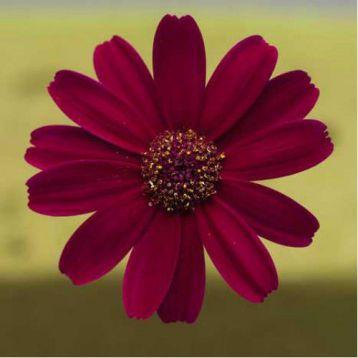 Вероника Carmine семена цинерарии (Kitano Seeds)