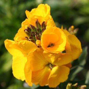 Абсолют Orange семена желтофиоля (Kitano Seeds)