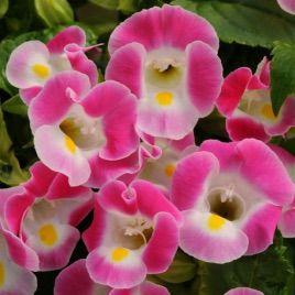 Адажио Pink семена торении дражированные (Kitano Seeds)