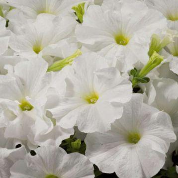 петуния Адреналин White (белая)