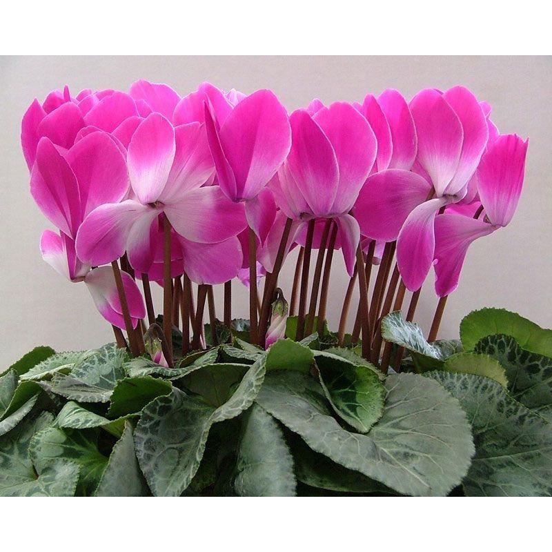 Цикламены. Как правильно ухаживать за цветами? | Цветы ...