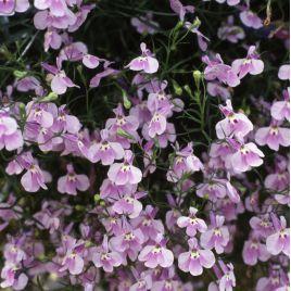 Аквамарин Lilac семена лобелии ампельной дражированные (Kitano Seeds) НЕТ ТОВАРА