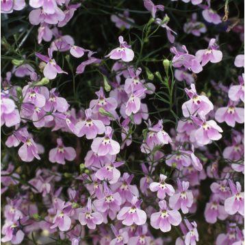 Аквамарин Lilac семена лобелии ампельной дражированные (Kitano Seeds)