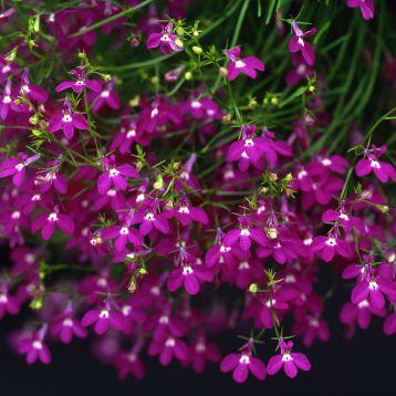 Аквамарин Rose семена лобелии ампельной дражированные (Kitano Seeds)
