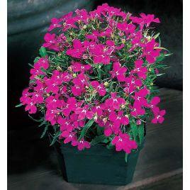Аквамарин Rose семена лобелии ампельной дражированные (Kitano Seeds) НЕТ ТОВАРА