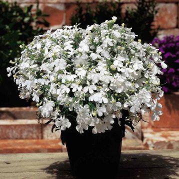 Аквамарин White семена лобелии ампельной дражированные (Kitano Seeds)