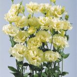 Эустомы АВС 1 F1 желтая (ABC 2 Yellow Cut Flower Lisianthus)
