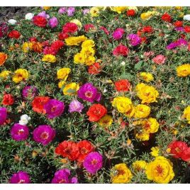 Амелия Formula mixed семена портулака крупноцветкового (Kitano Seeds)