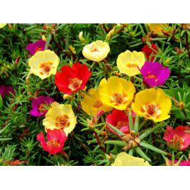 Амелия Formula mixed семена портулака крупноцветкового (Kitano Seeds) НЕТ ТОВАРА