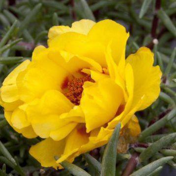 Портулак Амелия Yellow (желтый)