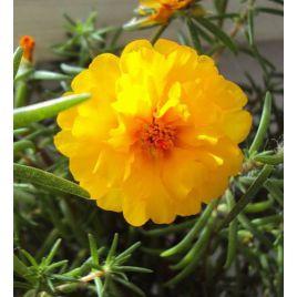 Амелия Yellow семена портулака крупноцветкового (Kitano Seeds) НЕТ ТОВАРА