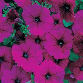 Амфора Руби (Amphora Ruby) семена петунии многоцветковой дражированные (Kitano Seeds)