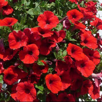 Петуния Амфора Red (красная)