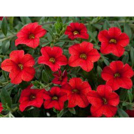 Амфора Ред (Amphora Red) семена петунии многоцветковой дражированные (Kitano Seeds)