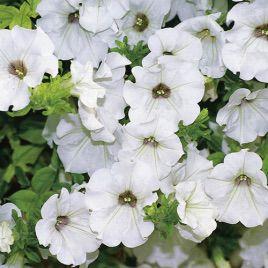 Амфора White семена петунии многоцветковой дражированые (Kitano Seeds)