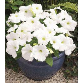 Амфора Вайт (Amphora White) семена петунии многоцветковой дражированные (Kitano Seeds)