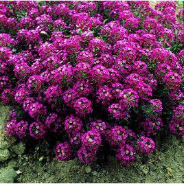 Ангора Purple семена алиссума дражированные (Kitano Seeds)