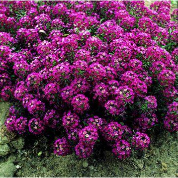 Алиссум Ангора Перпл (Purple)