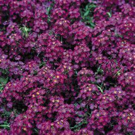 Ангора Перпл (Purple) семена алиссума (лобулярии, каменника) дражированные однол. (Kitano Seeds) НЕТ ТОВАРА