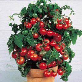 Малиновая капель F1 семена томата полудет. кокт. среднего 110-120 дн. окр. 30-40 гр. (Элитный ряд)