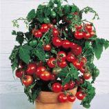 томат малиновая капель f1