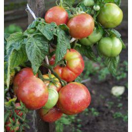 Роза ветров F1 семена томата дет. раннего розового 120-130 гр. (Элитный ряд)